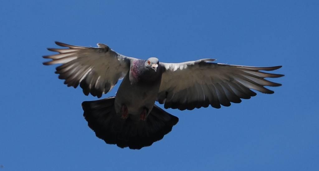 De duiven kwamen dit weekend vlot naar huis.(Foto: P. Broekhuizen)