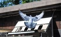 Boabestendige duivenvlucht
