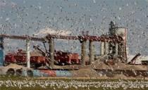 Zeemeeuwen-samenscholing